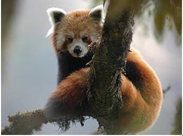 小熊猫是一种极其珍稀可爱的动物