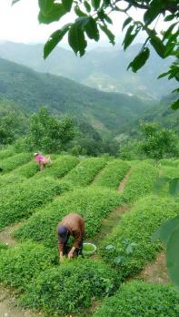 上海热线财经频道--安康富硒茶引爆中国西部最